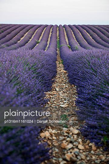 Lavendelfeld, bei Valensole, Plateau de Valensole, Alpes-de-Haute-Provence, Provence, Frankreich - p1316m1161024 von Daniel Schoenen