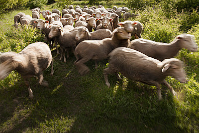 Sheep - p046m792746 by Hexx