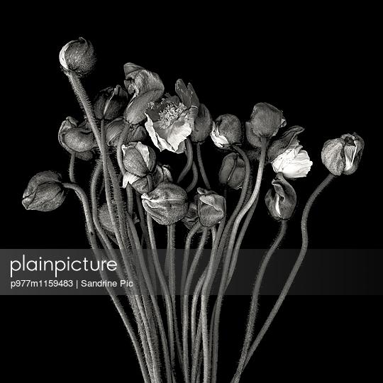 Strauß Mohnblumen auf schwarzem Hintergrund - p977m1159483 von Sandrine Pic