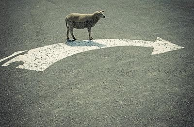 Ein Schaf biegt rechts ab - p1443m2185148 von SIMON SPITZNAGEL