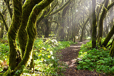 Spain, Canary Islands, La Gomera, Cloud forest, Laurel forest, path - p300m1129890f von Martin Siepmann