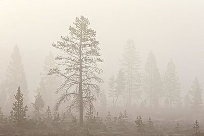 Trees in fog, Yellowstone National Park, UNESCO World Heritage Site, Wyoming, United States of America, North America - p871m1006270f by James Hager