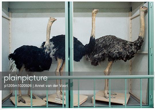 Strauß - p1205m1020926 von Annet van der Voort
