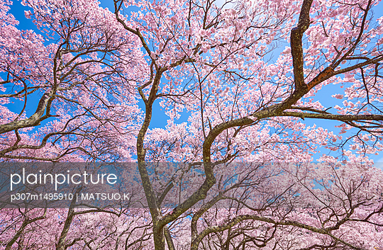 Cherry blossoms in full bloom - p307m1495910 by MATSUO.K