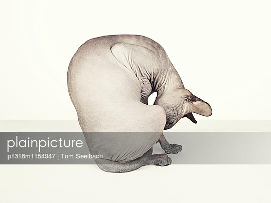 Nude Cat - p1318m1154947 von Tom Seelbach