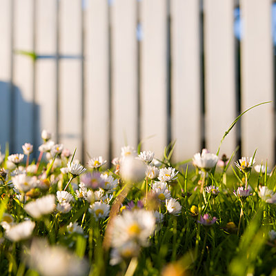 Daisy and picket fence - p1201m1050056 by Paul Abbitt