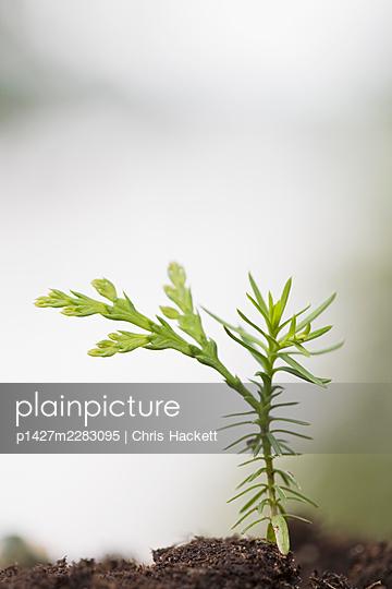 Eastern White Cedar (Thuja occidentalis) seedling - p1427m2283095 by Chris Hackett