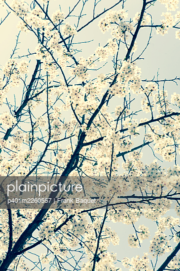 Cherry blossom - p401m2260557 by Frank Baquet