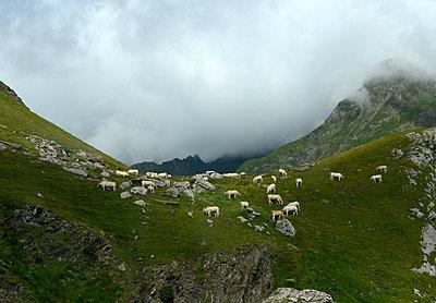 Rinder auf einem Berg - p1560m2185827 von Alison Morton
