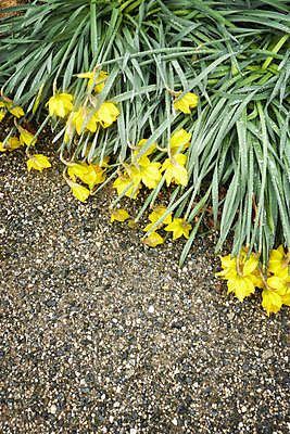 Daffodil flowers laying prostrate after heavy rain - p597m1564609 by Tim Robinson