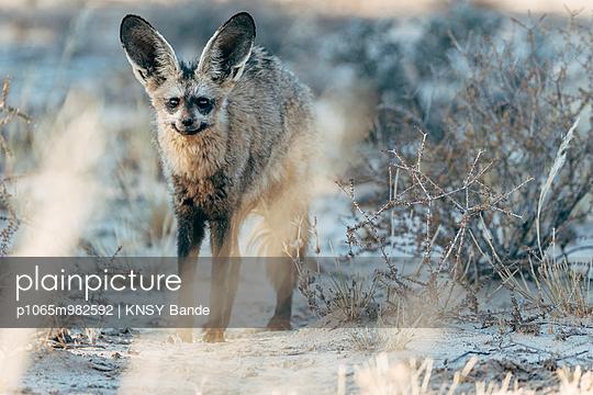 Löffelhund, Kalahari, Afrika - p1065m982592 von KNSY Bande