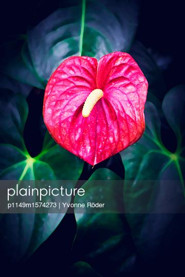 Flamingo flower - p1149m1574273 by Yvonne Röder