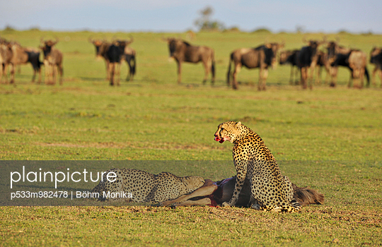 Two cheetahs gorging a gnu - p533m982478 by Böhm Monika