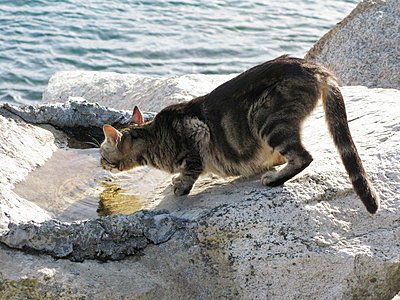 Cat sneaking up on rocky coast - p1499m2013689 by Marion Barat