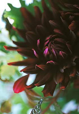 Dahlias (Good taste Elegance Stability) - p349m896261 by Jan Baldwin