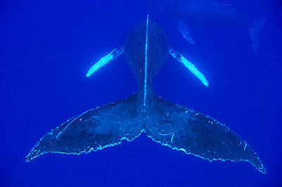 Humpback Whale pair- Notice must accompany publication: Photo obtained under NMFS Permit #753 - p8845464 by Flip Nicklin
