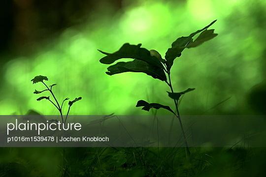 Eichen Keimling - p1016m1539478 von Jochen Knobloch