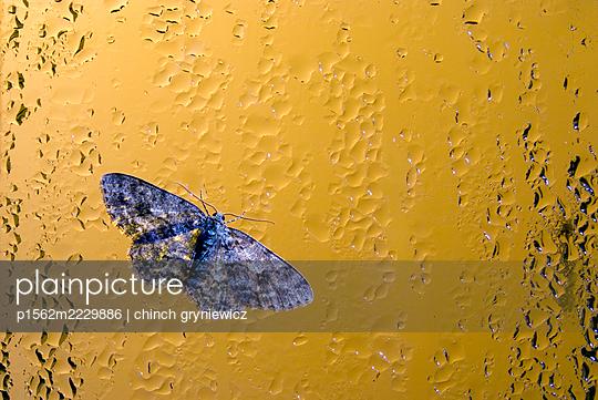 Blue Moth On Rainy Window - p1562m2229886 by chinch gryniewicz