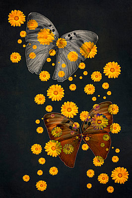 Computer generated abstract pattern of yellow marigold flowers overlaid on grey and brown euphaedra medon butterfly wings against dark background - p1047m2288953 by Sally Mundy