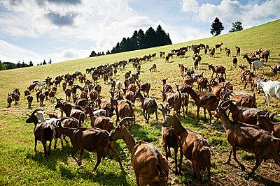 Goats - p1203m1025882 by Bernd Schumacher