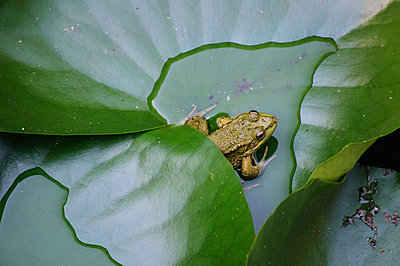 The frog on water lily leaf - p1412m1488468 by Svetlana Shemeleva