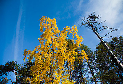 Yellow tree towards blue sky - p4263731f by Tuomas Marttila