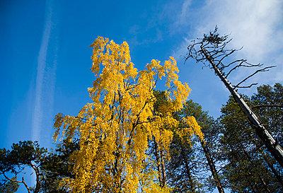 Yellow tree towards blue sky - p4263731f by Tuomas Marttila