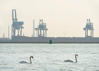 Two swans swimming in front of industrial backdrop - p429m819787 by Mischa Keijser