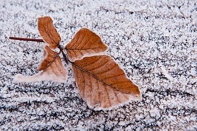 Withered beech leaves on hoar frost - p533m1111569 by Böhm Monika