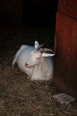 White goat resting by stable door - p1047m1564910 by Sally Mundy