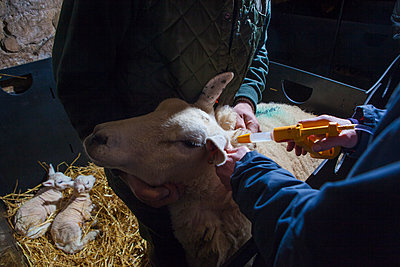Sheep receiving injection - p1057m1440429 by Stephen Shepherd