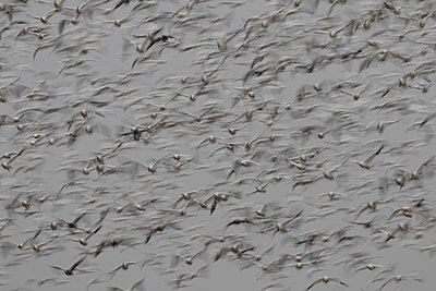 Large flock of Snow Geese flying together - p1480m2148228 by Brian W. Downs