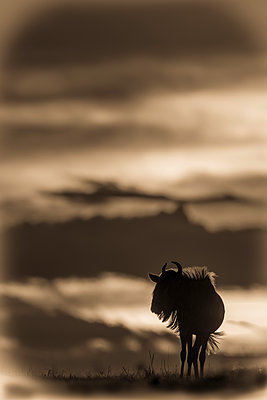 A blue wildebeest (Connochaetes taurinus) on the horizon is silhouetted against a yellow and black sky at sunset. Its horns are visible in outline, and it's standing with its head turned in Klein's Camp, Serengeti National Park; Tanzania - p442m2154439 by Nick Dale