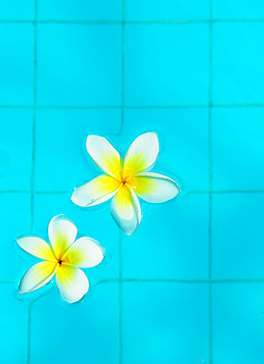 Blossoms in pool - p1190m2038563 by Sarah Eick