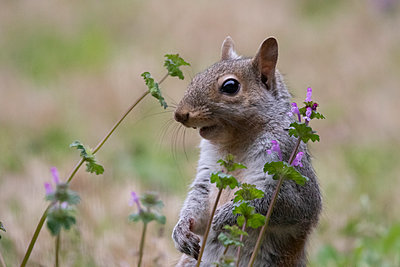 Portrait of a gray squirrel in grass - p1480m2148205 by Brian W. Downs