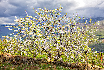 Cherry tree blossom in Jerte valley, Caceres, Extremadura, Spain - p343m1167928 by David Santiago Garcia