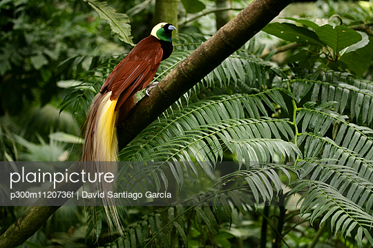 Indonesia, Bali, Greater bird-of-paradise in tree