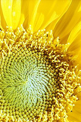 Sonnenblume - p1210m1561988 von Ono Ludwig