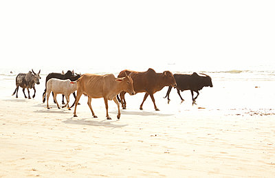 India, Goa, Arambol, Holy cows on beach - p300m2219498 by Michelle Fraikin