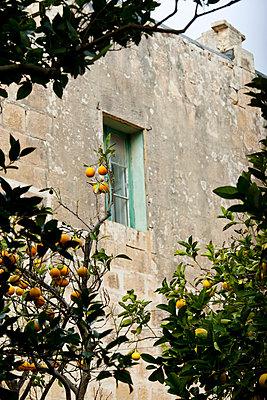 Orange tree - p4320865 by mia takahara