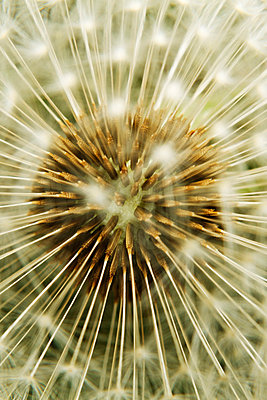 Dandelion seedhead, extreme close-up - p62321588f by Christophe Lemieux