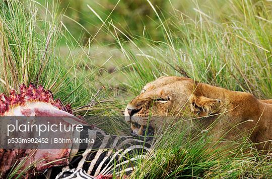 Löwin mit Beute - p533m982452 von Böhm Monika