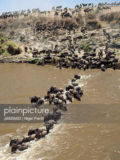 Wildebeest - p6520423 by Nigel Pavitt