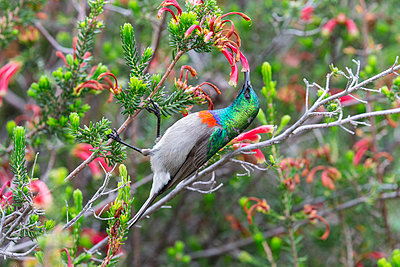 Southern double collared sunbird, Cinnyris chalybeus, feeding, Kirstenbosch National Botanical Garden, Cape Town, South Africa - p871m2077713 by Ann and Steve Toon