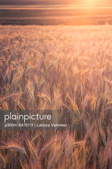 Germany, Baden-Wuerttemberg, barley field in the evening - p300m1047611f by Larissa Veronesi