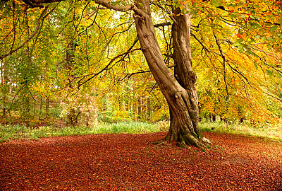 Autumn tree, Hulne park, Northumberland, England - p44210235f by Design Pics