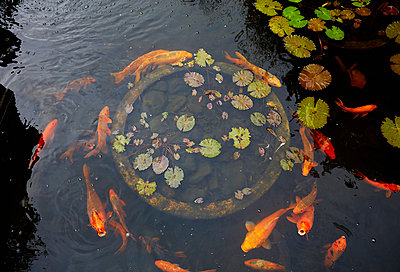 Goldfish swimming in pond - p555m1481931 by Colin Anderson