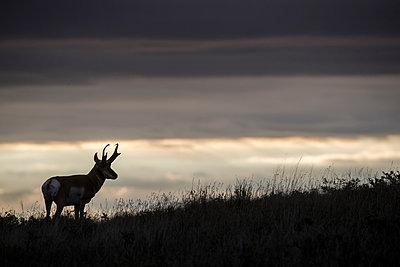 Pronghorn Antelope male at sunrise, eastern Montana - p884m1510051 by Donald M. Jones
