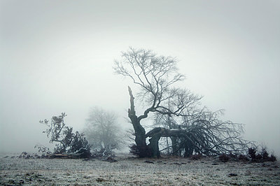 Dead tree in fog - p992m882776 by Carmen Spitznagel