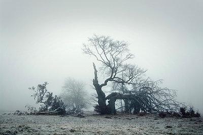 Toter Baum im Nebel - p992m882776 von Carmen Spitznagel